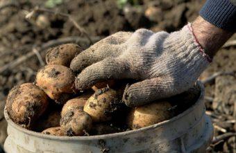 Жителей Тверской области будут штрафовать за посадку картошки на своих участках
