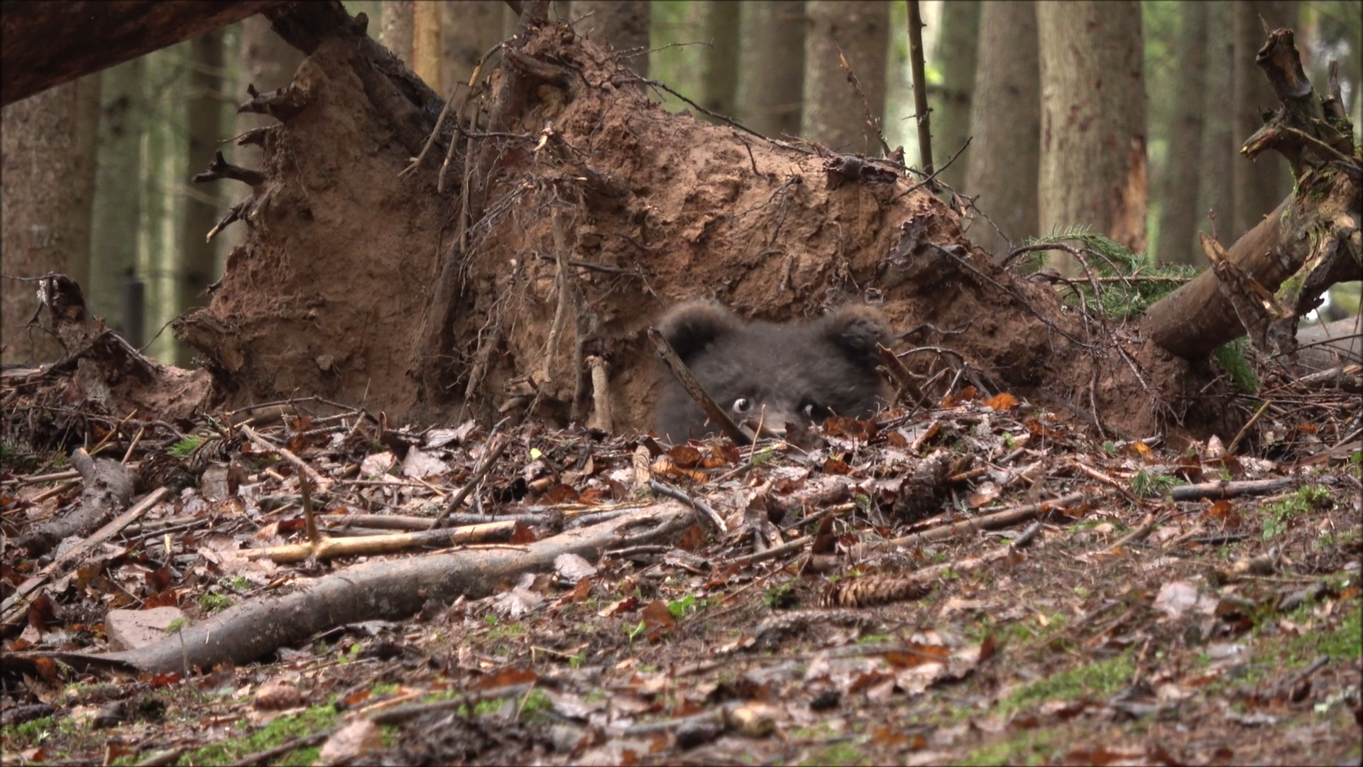 В Тверской области сняли видео, как медведица приготовила себе берлогу