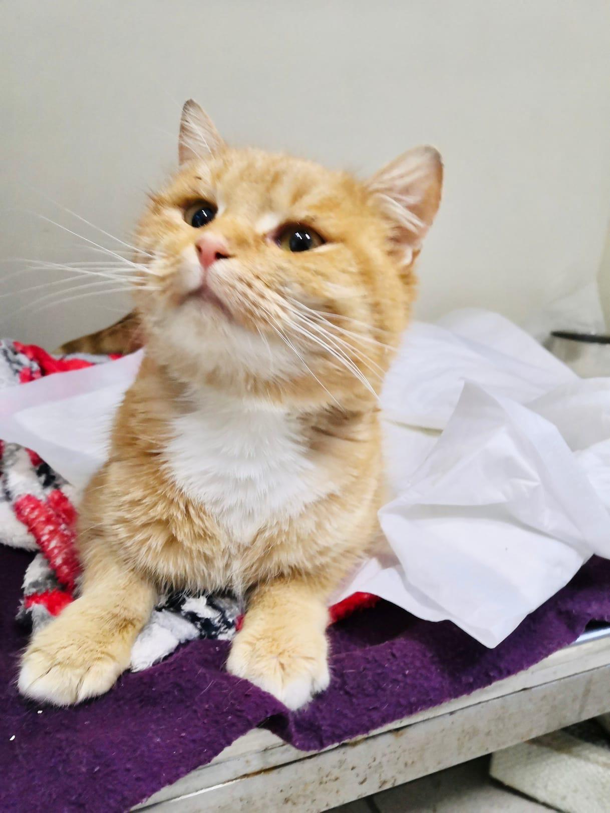 Тверской кот, выживший после выстрела в голову, поехал лечиться в Москву