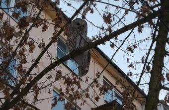 Вороны пытались прогнать сову со двора дома в Твери