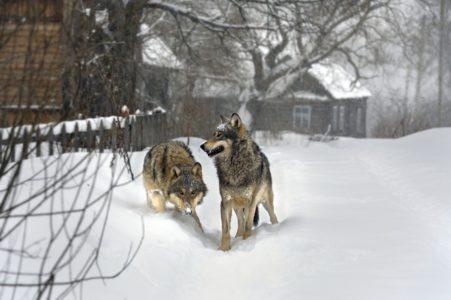 В населённые пункты Тверской области могут прийти волки