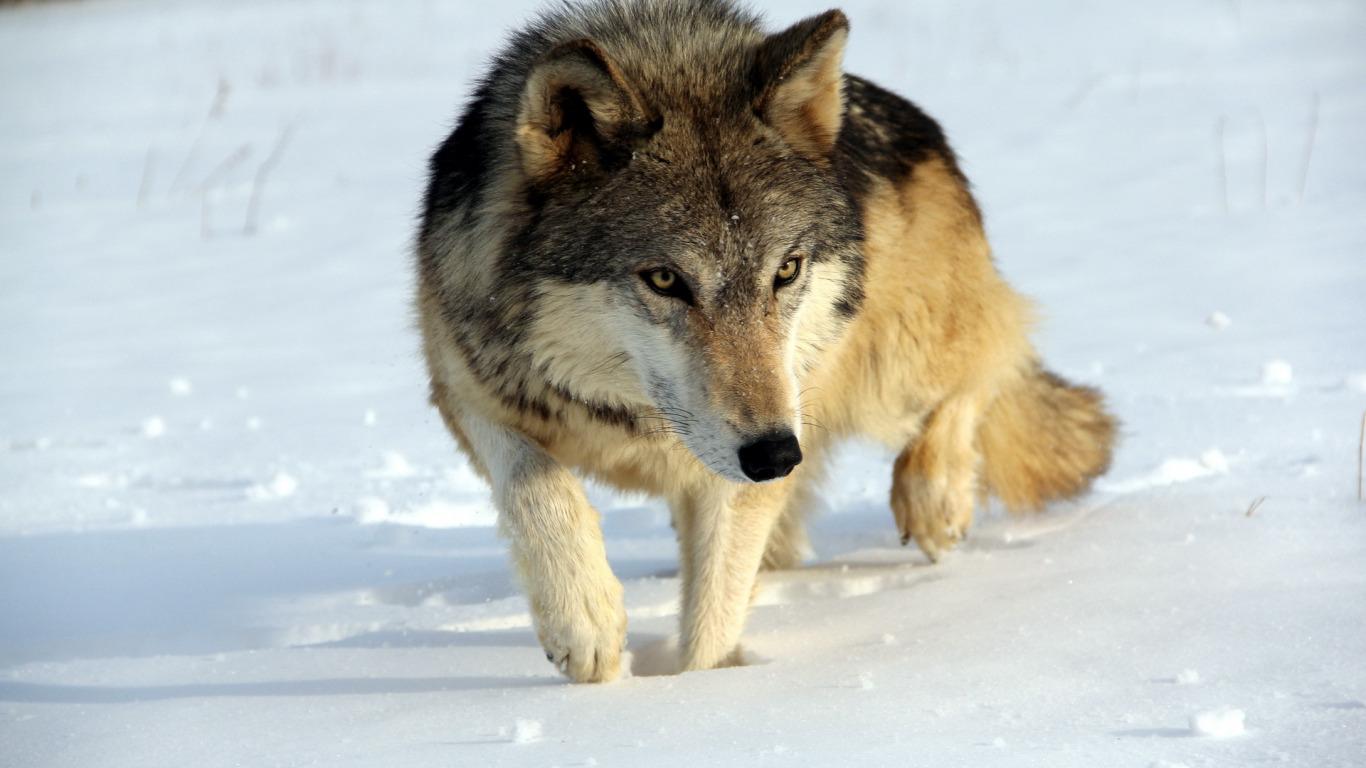 В Тверской области отстреливают расплодившихся волков