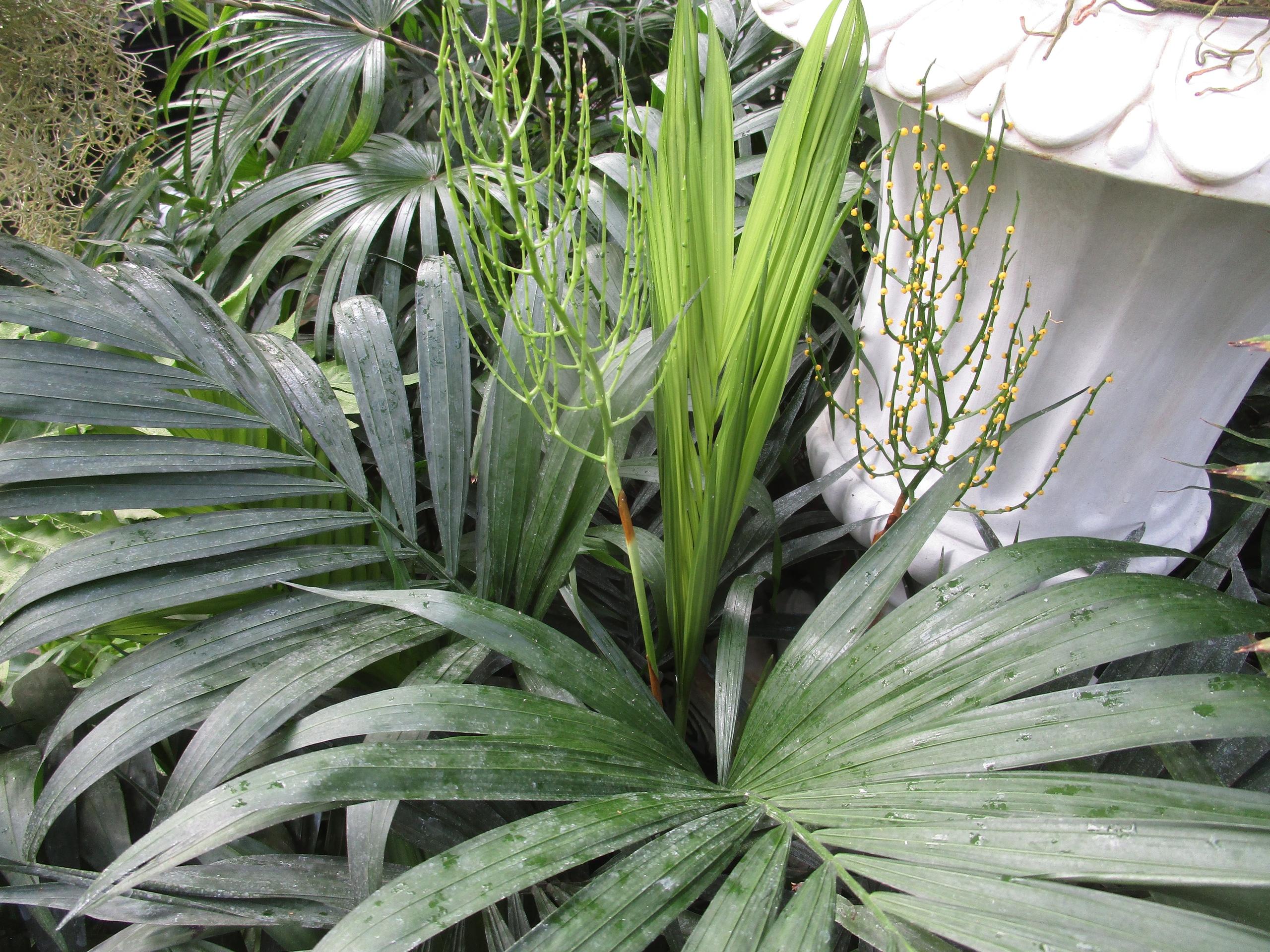 Мимоза цветет в Твери на пальме