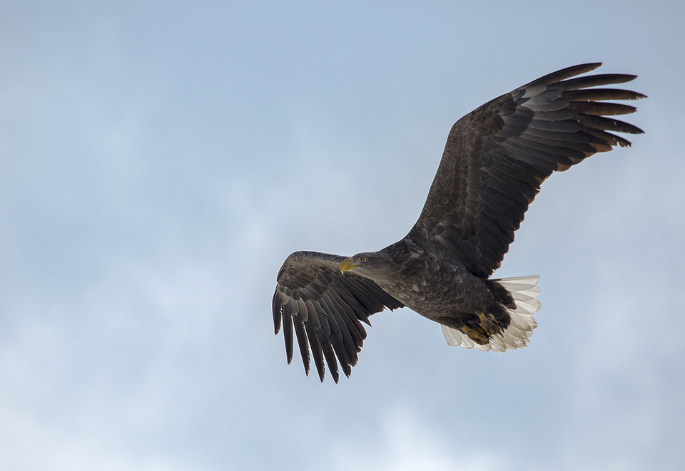 Опубликовано видео, как в Тверской области встретили белохвостого орлана