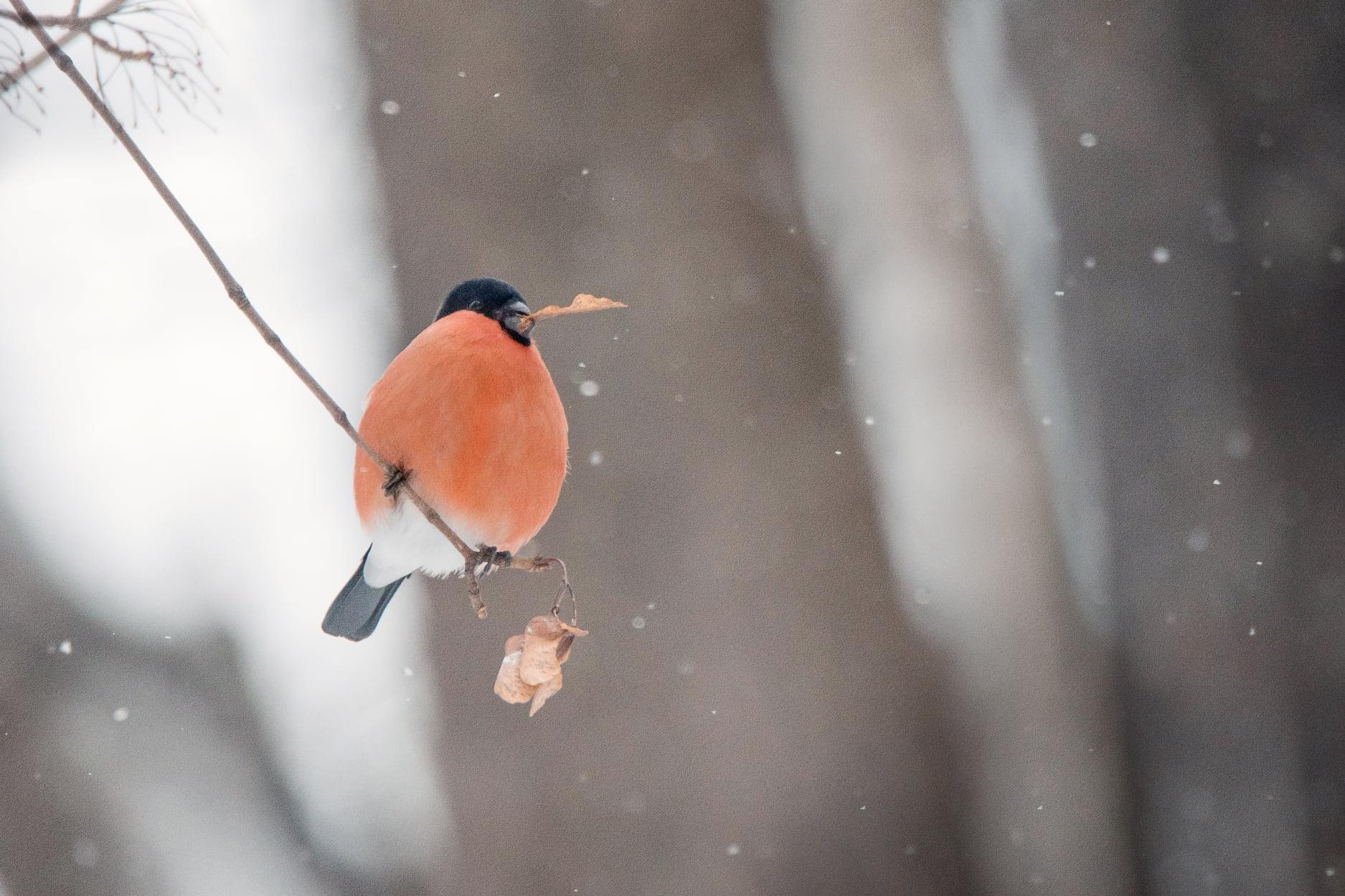 Тверские орнитологи просят не сниматься в фотосессиях со снегирями