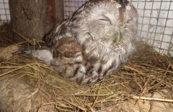Измученная сова пришла к людям в сарай в Тверской области