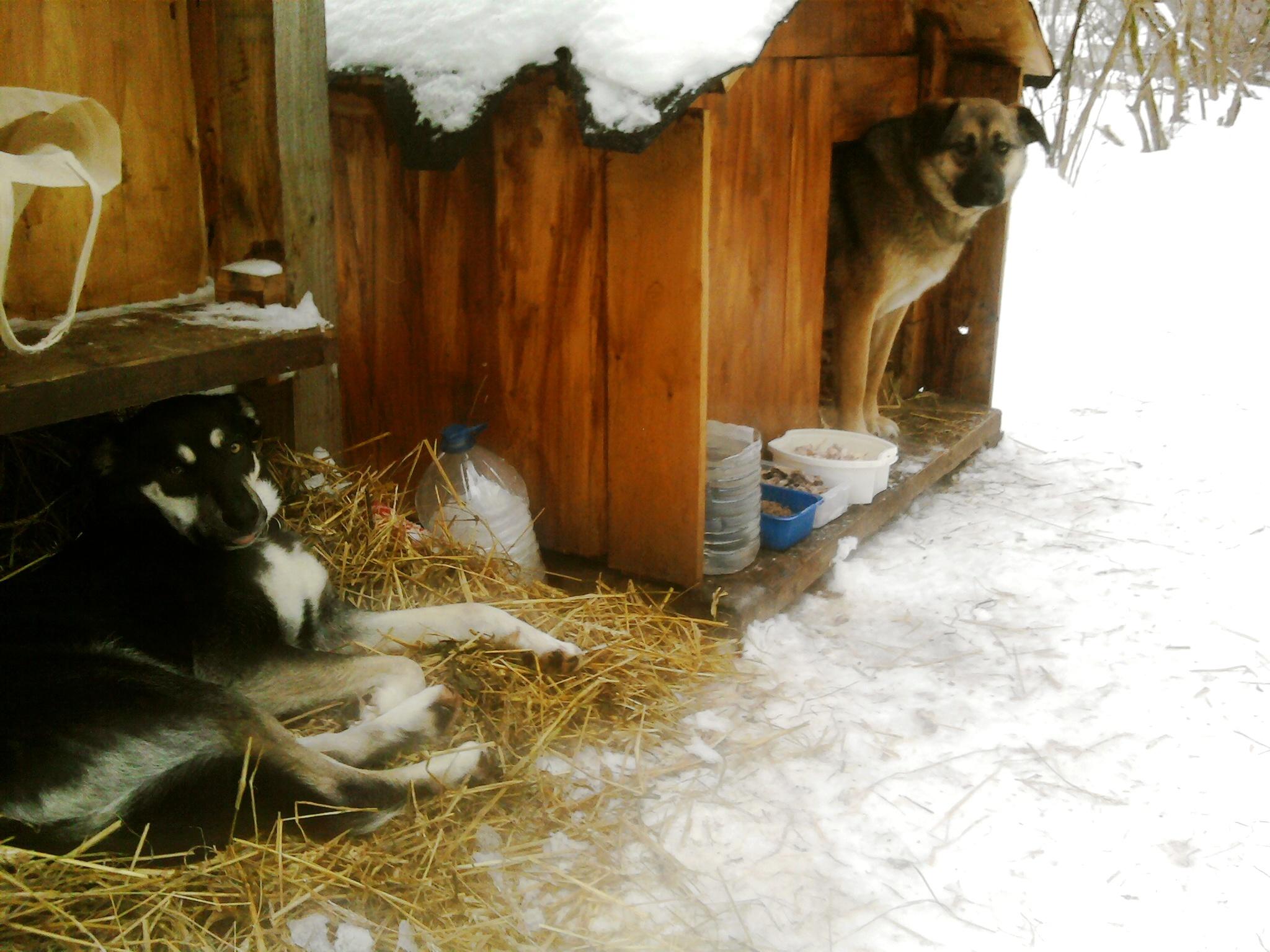 """Собак, охраняющих старинное тверское кладбище, хотят """"прописать"""" здесь"""