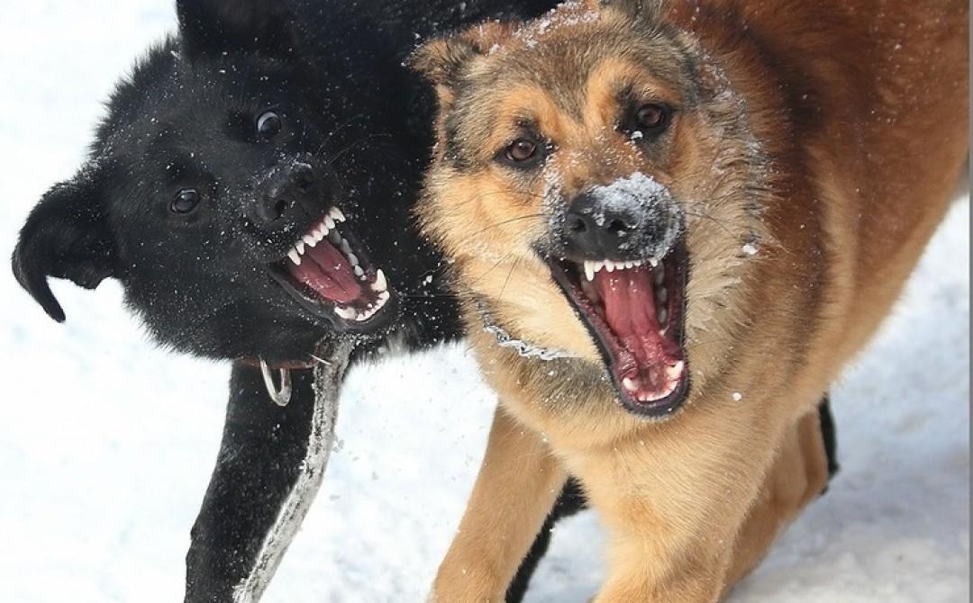 Бродячие собаки напали на женщину в Твери