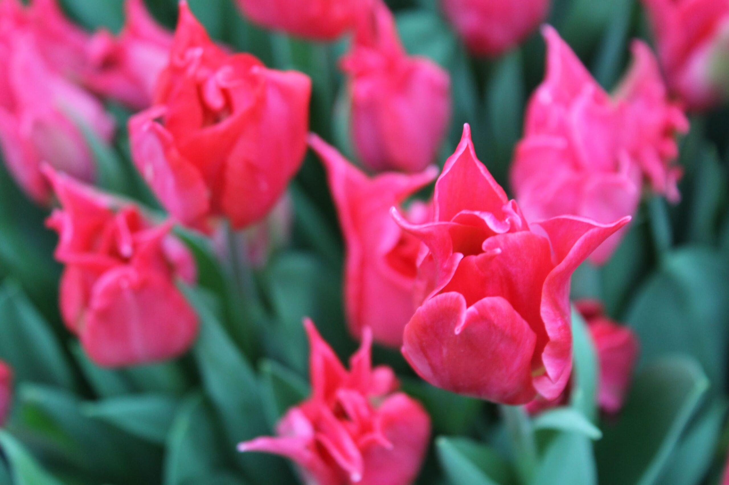 Около 100 тысяч тюльпанов появятся на выставке в Твери