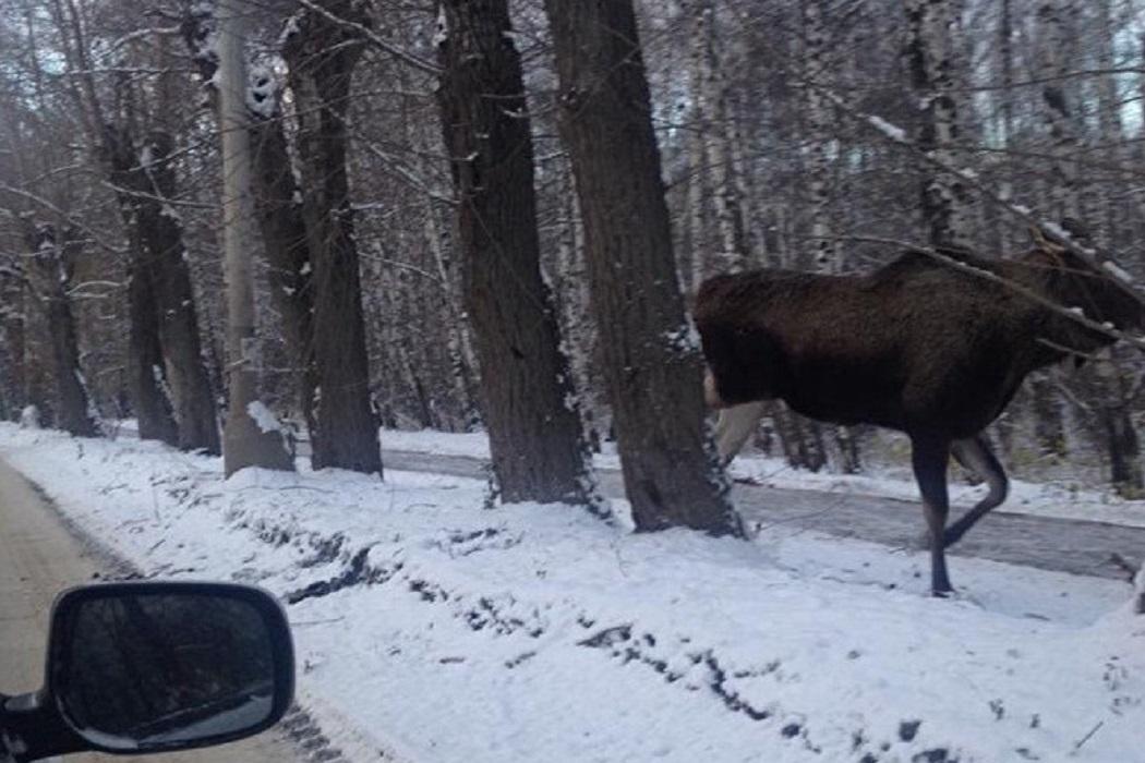 Парень и девушка пострадали от встречи с лосём в Тверской области