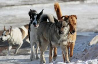 В Тверской области начали отлавливать бродячих собак, которые нападают на жителей