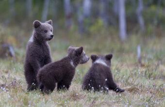 Трое медвежат-сирот отправились из Кирова в Тверскую область