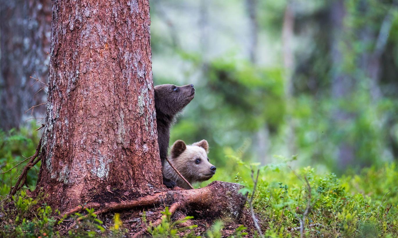 Вылезших из берлоги в карельском лесу медвежат спасут тверские учёные
