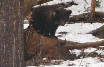 Маленькая медведица Пужа пережила в спячке морозы в Тверской области