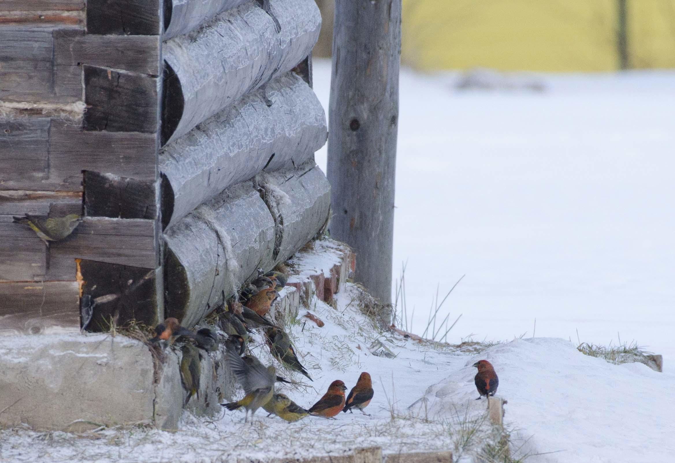 В Тверской области на елях веселятся лесные попугайчики