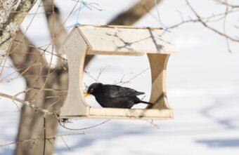 В Тверской области в «птичью столовую» пожаловал неправильный дрозд