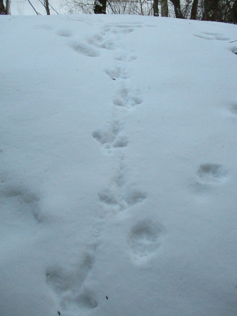На прогулке недалеко от Андреаполя заметили следы лисицы, белки и глухаря