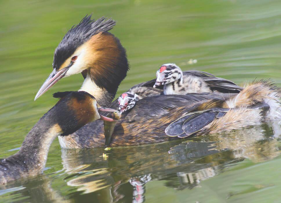 В прудах-отстойниках Твери плавают птицы с ирокезом и красными глазами