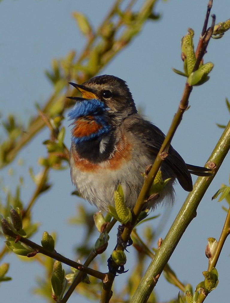 В Твери кавер на соловьиные трели исполняют птицы с голубым оперением
