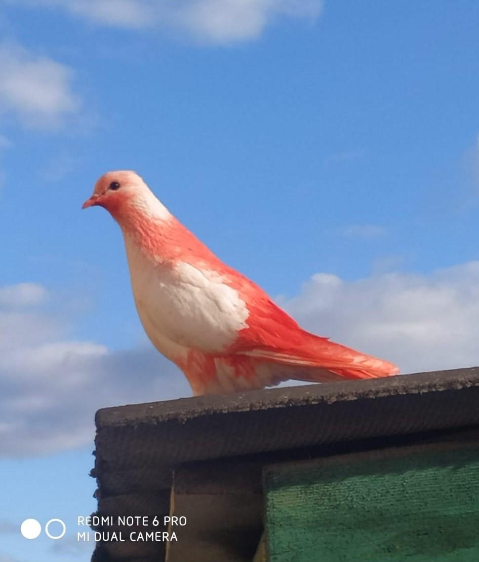 Красного голубя, летающего в Тверской области, всё-таки раскрасили