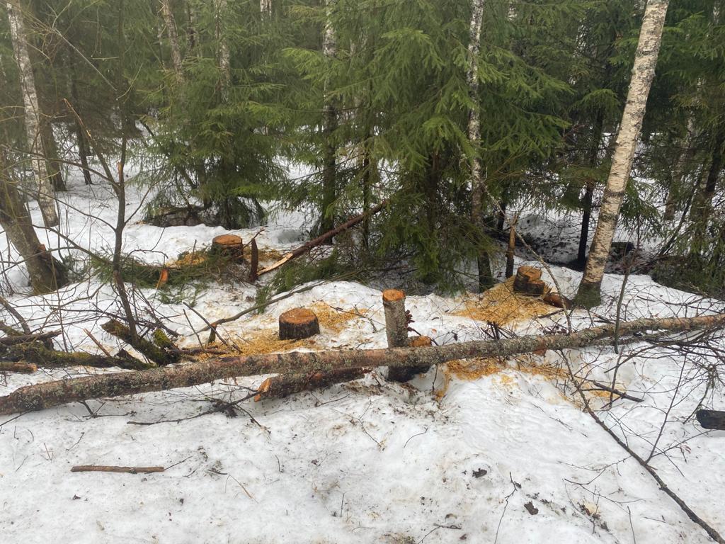 7 лет заключения грозит жителю Тверской области за 44 дерева