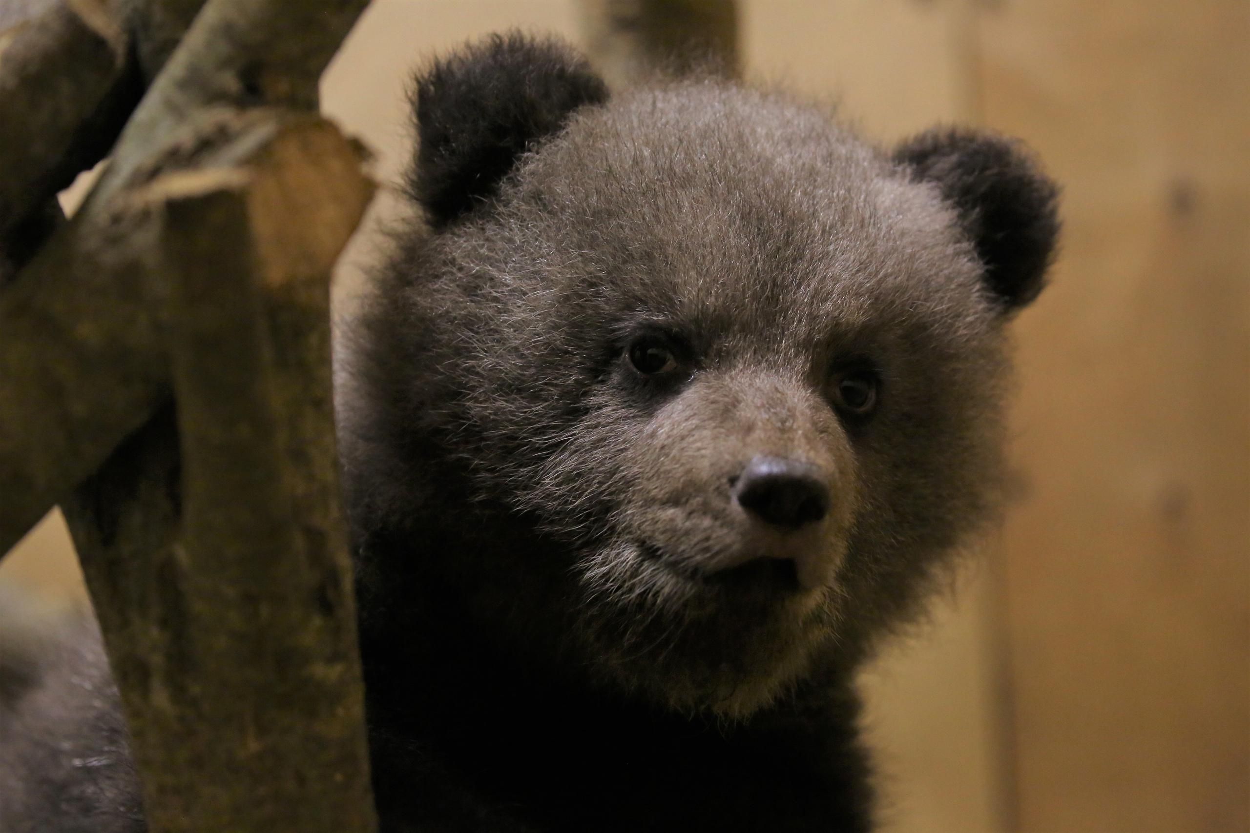 Троих брошенных костромских медвежат спасут в Тверской области