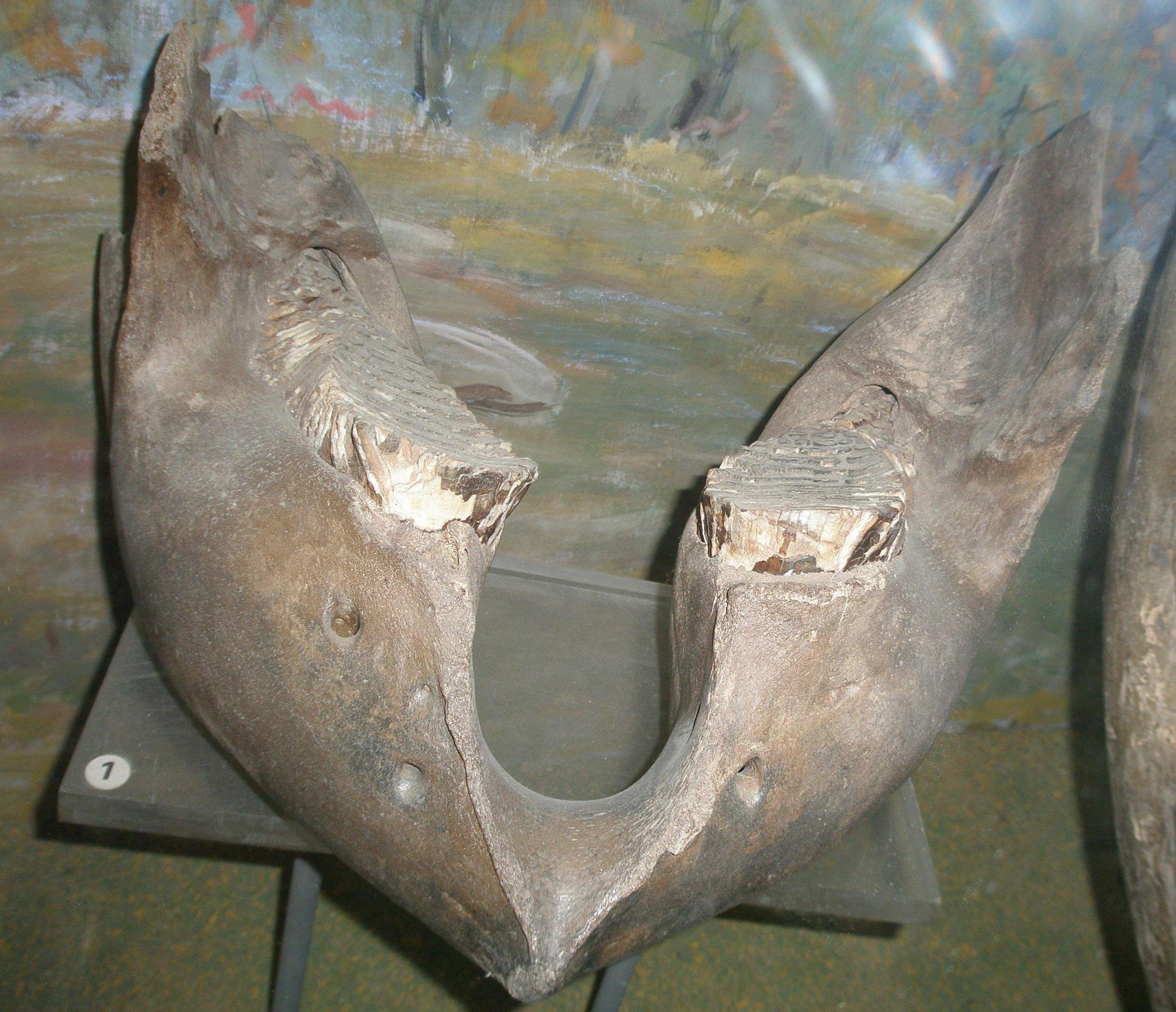 Опубликовано фото челюсти мамонта, найденной на карьере в Твери