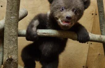 Карельские медвежата идут на поправку благодаря тверским биологам