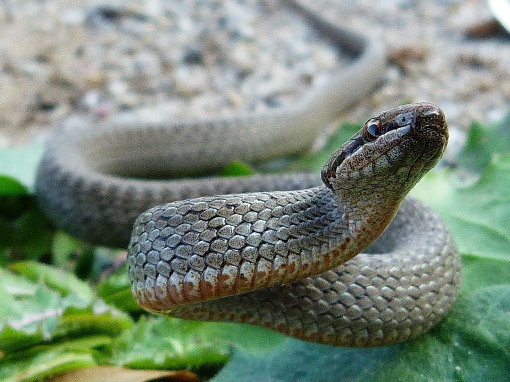 Биологи рассказали, что за мелкие ядовитые змеи водятся в Тверской области