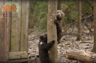 Спасённые тверскими биологами медвежата перестали бояться леса
