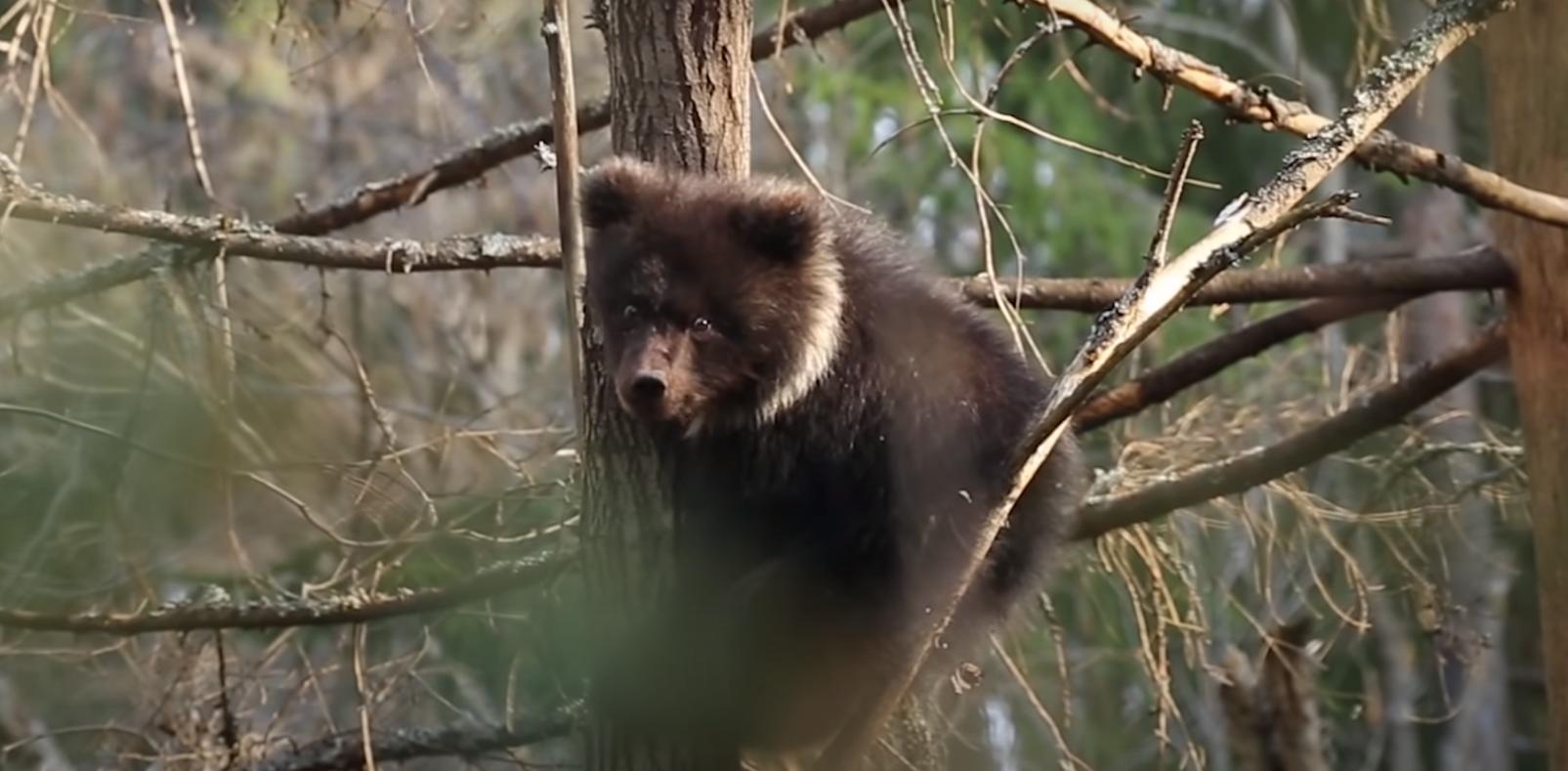 Тверские биологи опубликовали видеопривет от маленькой медведицы Пужи