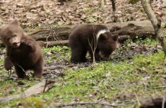В Тверской области любопытство уводит спасённых медвежат всё дальше в лес