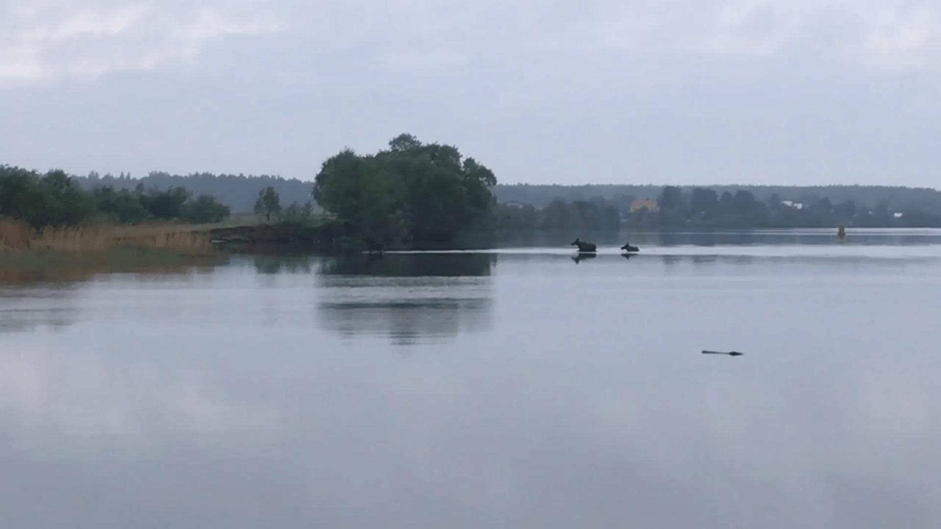 С наступлением весны в Кимрском районе началось «нашествие» лосей | Видео