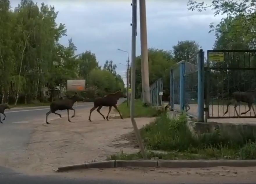 Стадо лосей пробегало ранним утром по Твери. Видео
