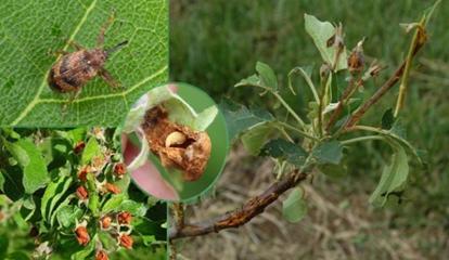 В Россельхозцентре рассказали о вредителях, болезнях плодово-ягодных культур и мерах борьбы с ними