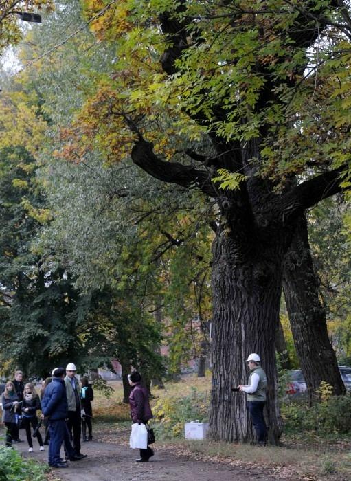 29-метровый Царский дуб из Твери борется за звание главного дерева страны
