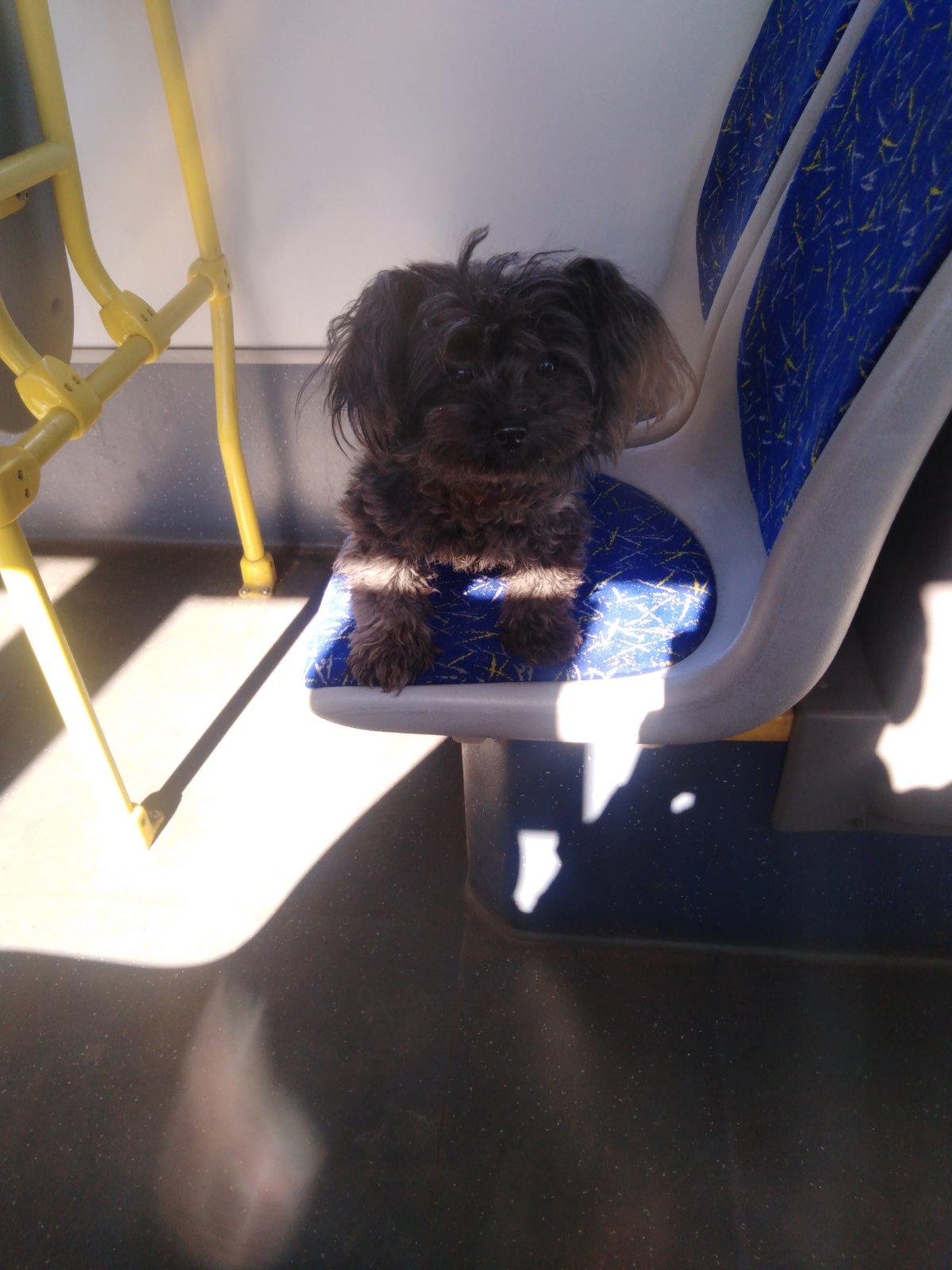 По Твери в автобусе катается лохматый пассажир
