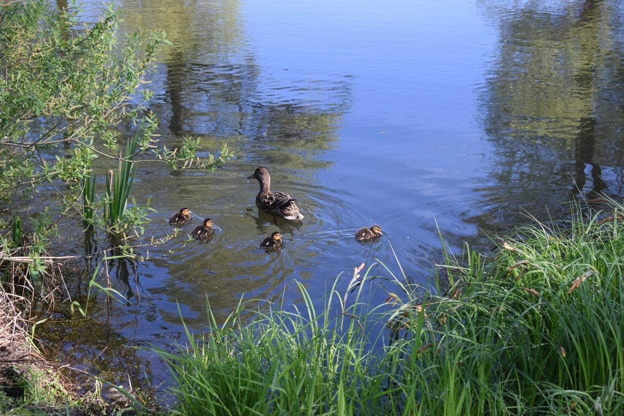 На прудах в Оленино появилось утиное семейство