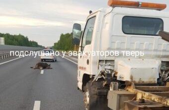 Лось погиб от столкновения с внедорожником в Тверской области