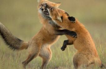 В Тверской области начались жестокие драки лис