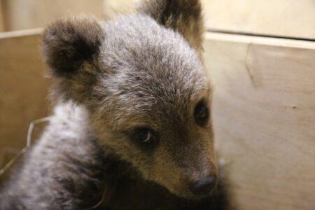 В Тверской области половодье разлучило медведицу с медвежонком