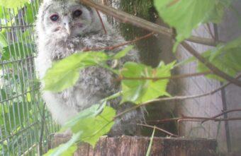 Опубликовано видео, как сова разговаривает с птенцом в Тверской области
