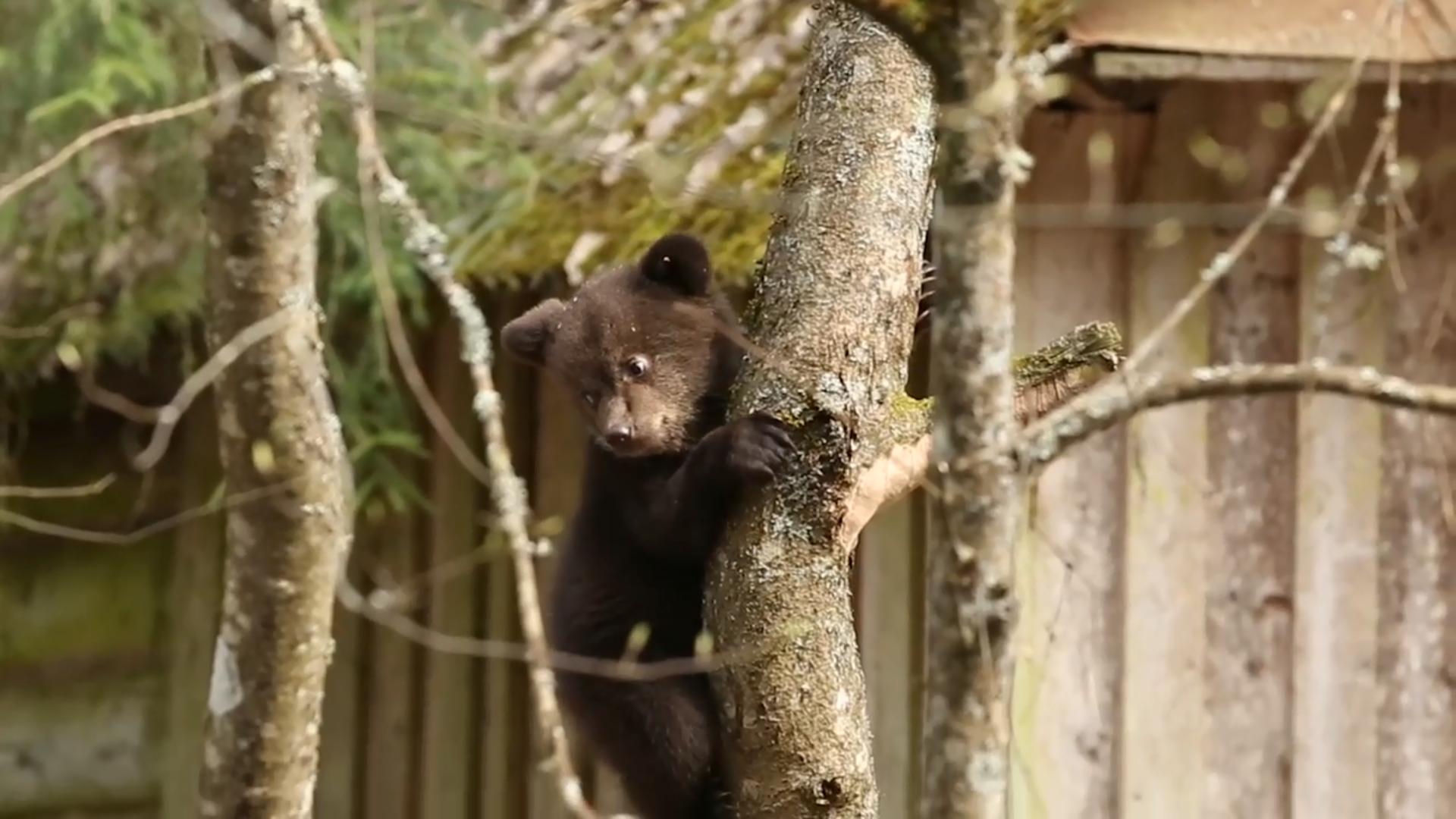 Спасённые тверскими биологами медвежата преодолели притяжение Земли