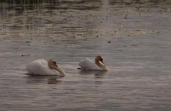 В Тверской области пара лебедей кружилась в вальсе: видео