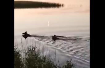 Лоси собрались перебегать М-10 в Тверской области, но уплыли: видео
