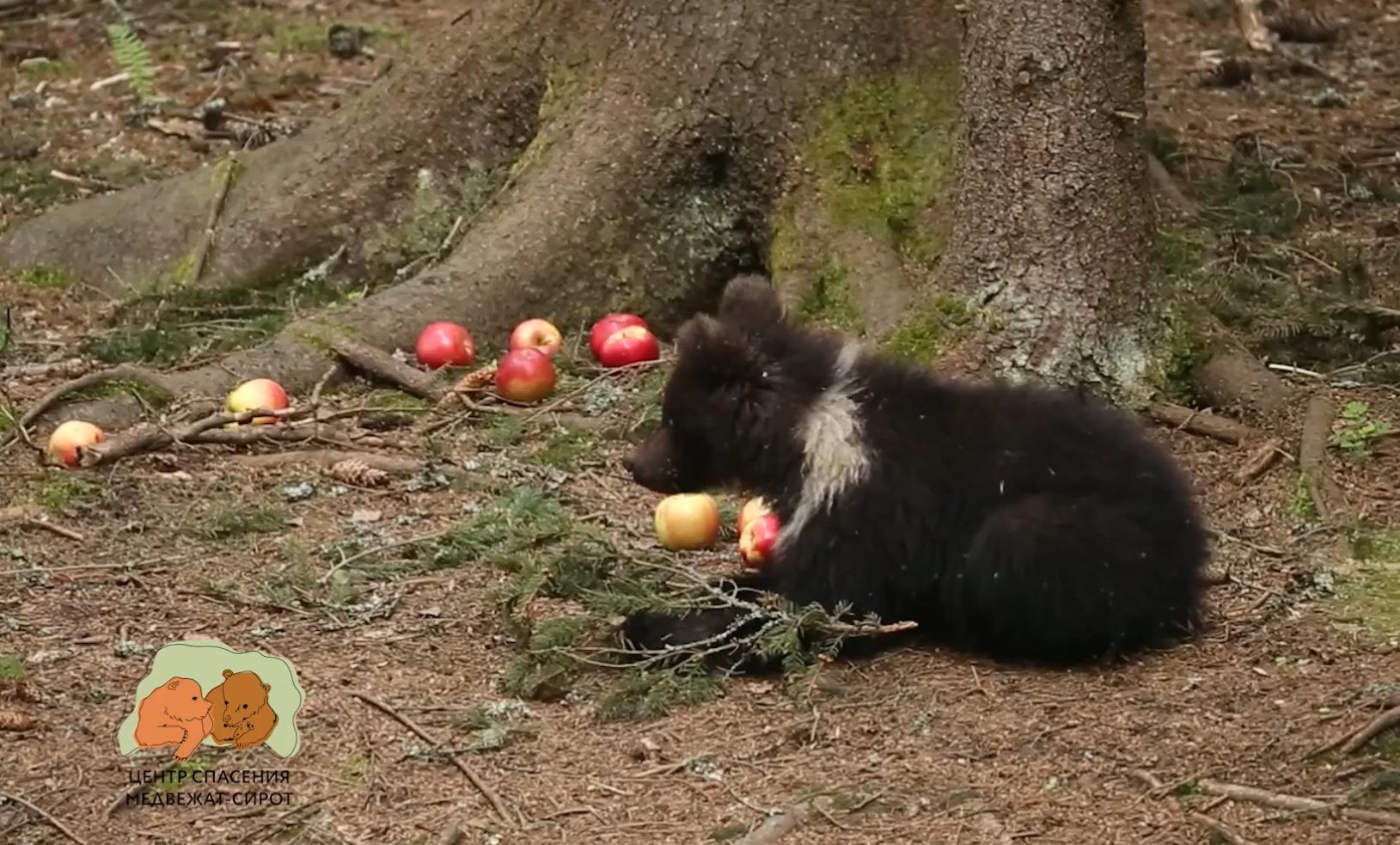 Прояснилась судьба медведицы Пужи из Тверской области: видео