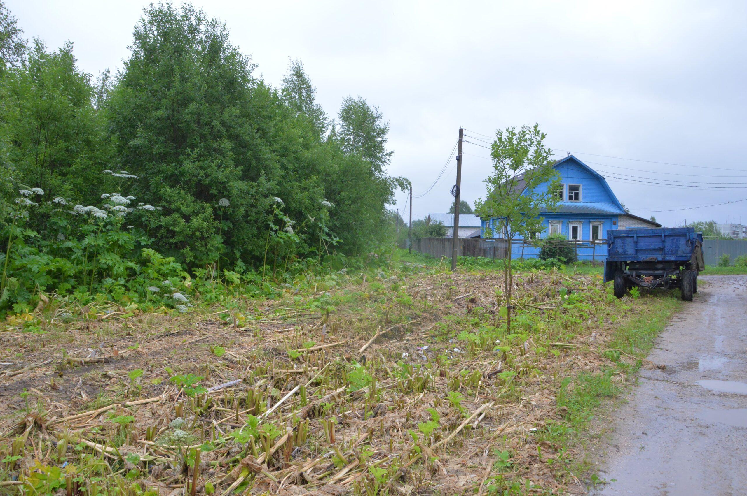 В Твери уже три года воюют с борщевиком Сосновского