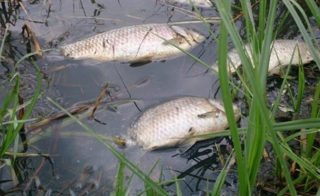 В реке под Тверью погибает рыба