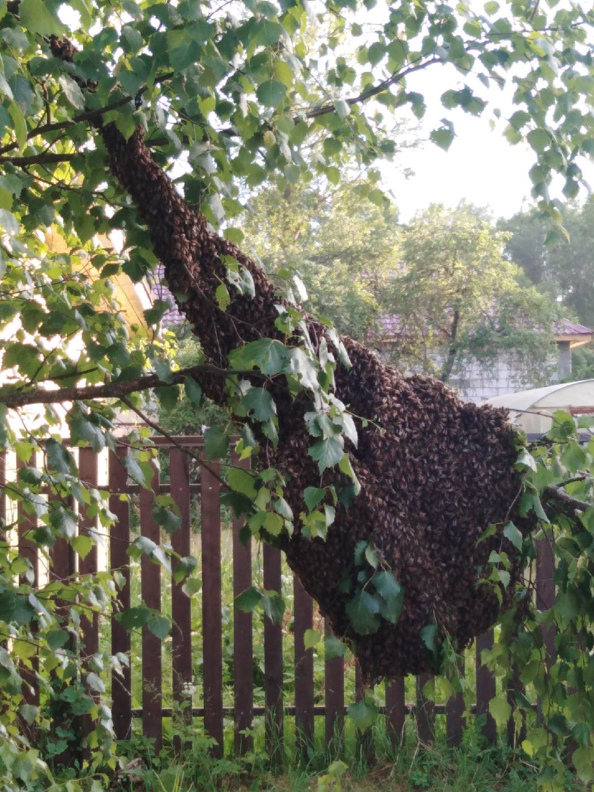 Жители Тверской области испугались гигантского роя насекомых на дереве