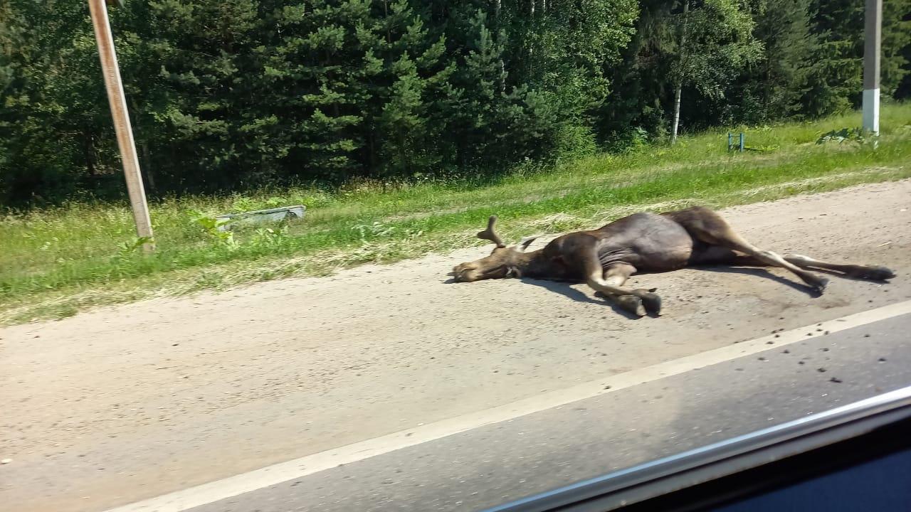 На выезде из Твери в аварии погиб лось и пострадали люди